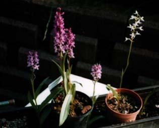 Orchideen im Garten